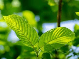 Kratom USA Review: A Long-Standing Vendor of Little Reputation