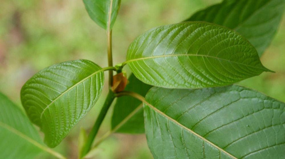 Sumatra Kratom