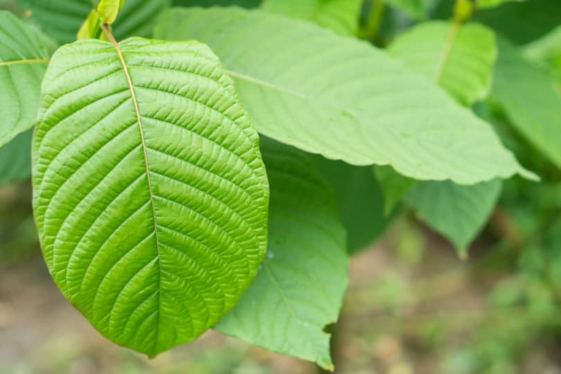 Is Kratom Legal in Arkansas?